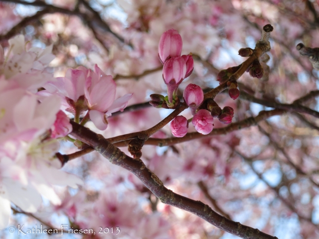cherry blossom buds - National Mall