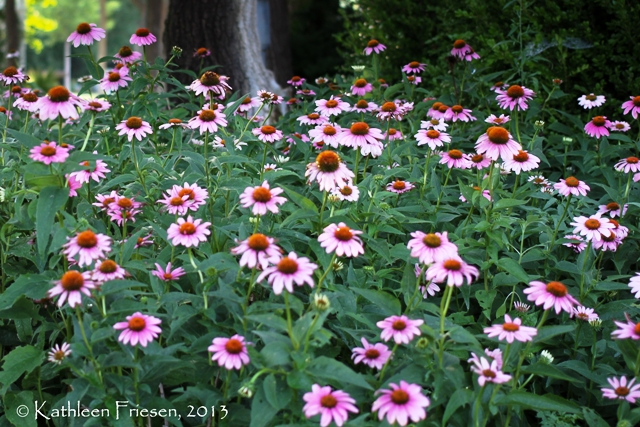 hillside cone flowers
