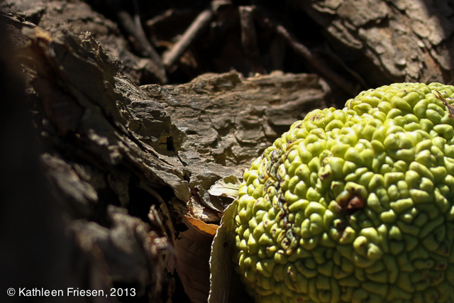osage orange apple 2014-5532