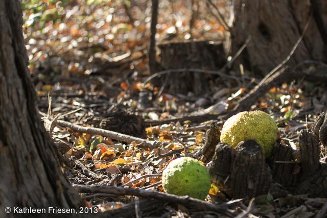osage orange apples 2014-5530