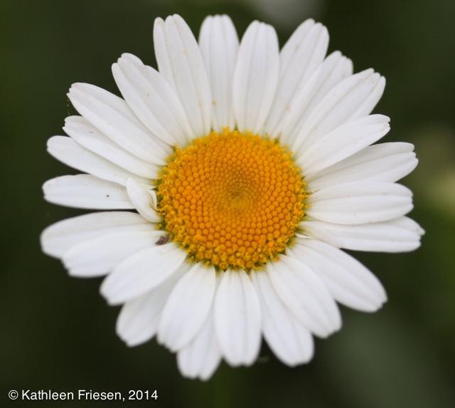 Daisy-5701