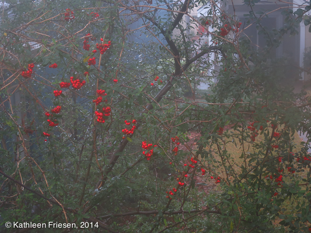 holly berries in fog