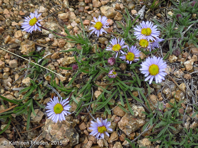 colorado wild daisies