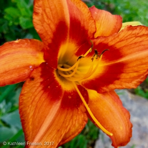 day lily 2017 - 1